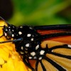 Monarch Butterfly Closeup