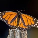 Monarchs are worn from their long migration.