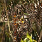 Monarchs cling to small branches.