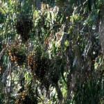 Monarchs roost in large clusters.